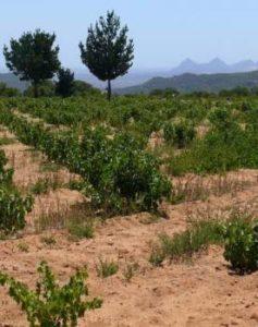 Old vine Chenin.